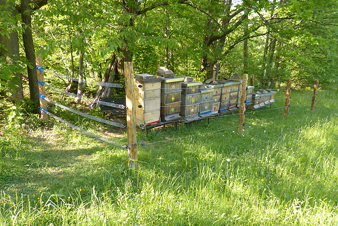 A bee yard protected from bears with electric fencing